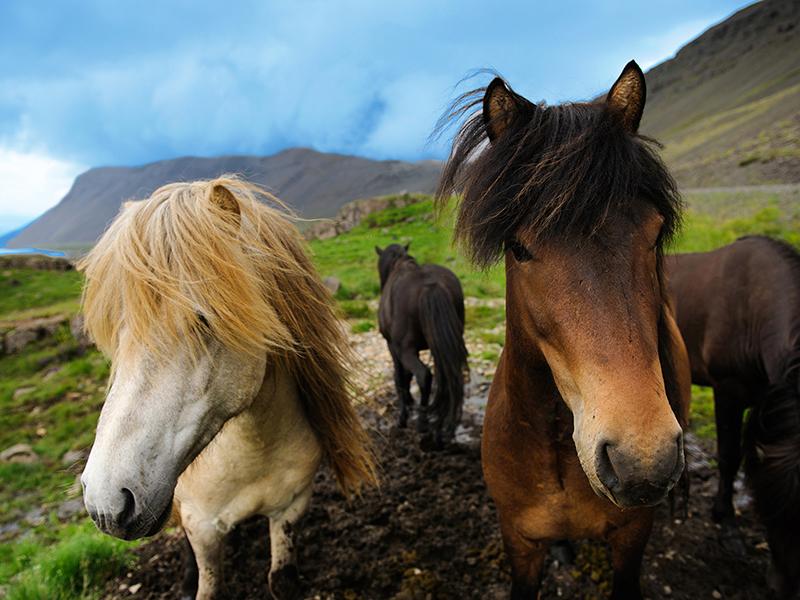BILFERIE PÅ ISLAND_Klassisk bilferie rundt Island med Din Islandsreise_Flotte Islandshester © Din Islandsreise