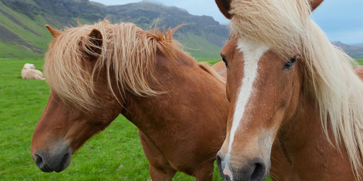 Bilferie på Island_Sør Vest og høylandet_Opplev de vakre Islandshestene © Din Islandsreise