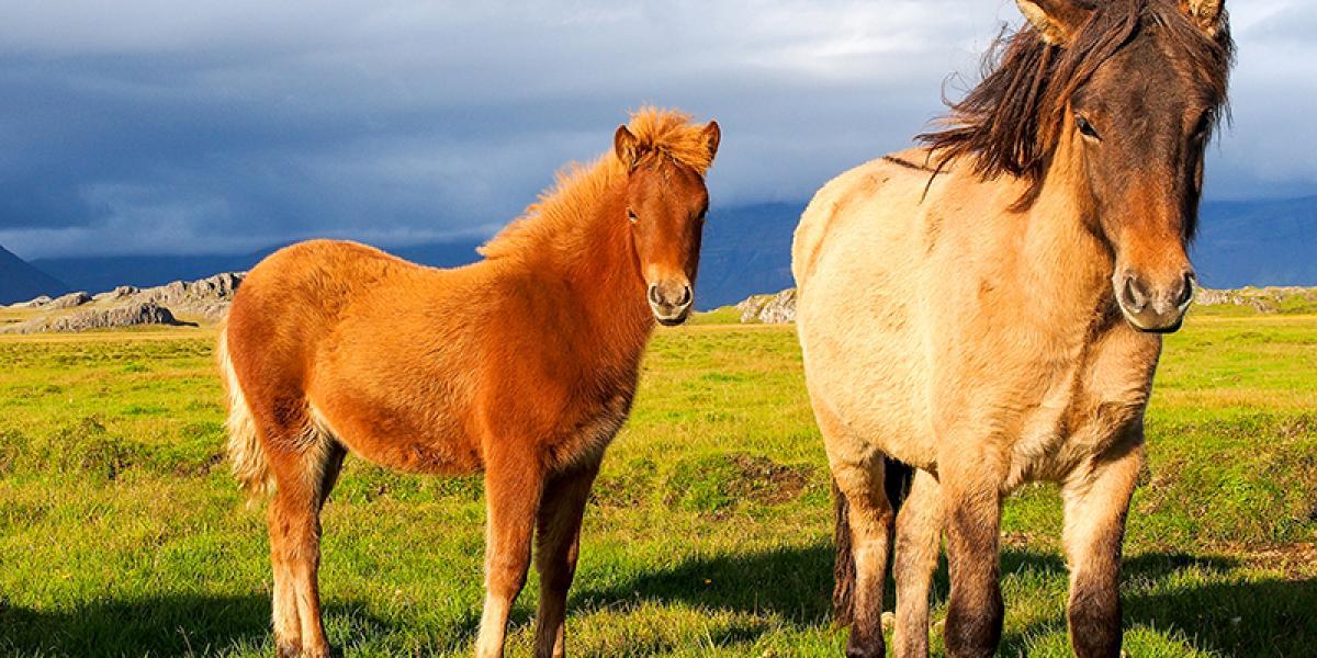 FAMILIEFERIE PÅ ISLAND_Barnevennlig høstferie på Island_Flotte Islandshester © Din Islandsreise