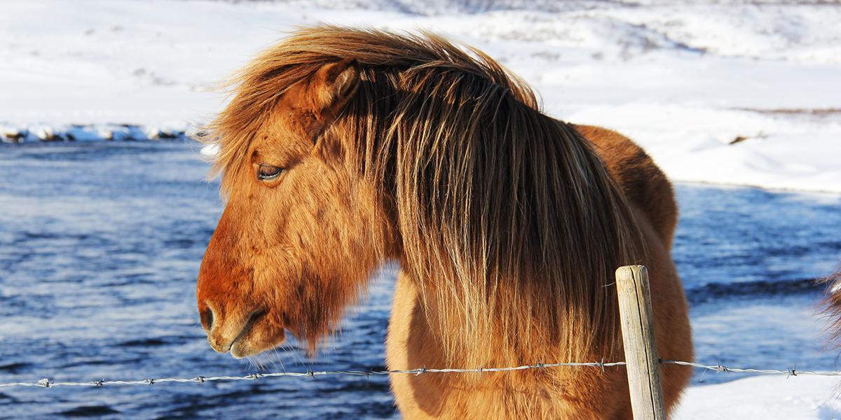 FAMILIEFERIE PÅ ISLAND_Barnevennlig vinterferie på Island_Den flotte Islandshesten © Din Islandsreise