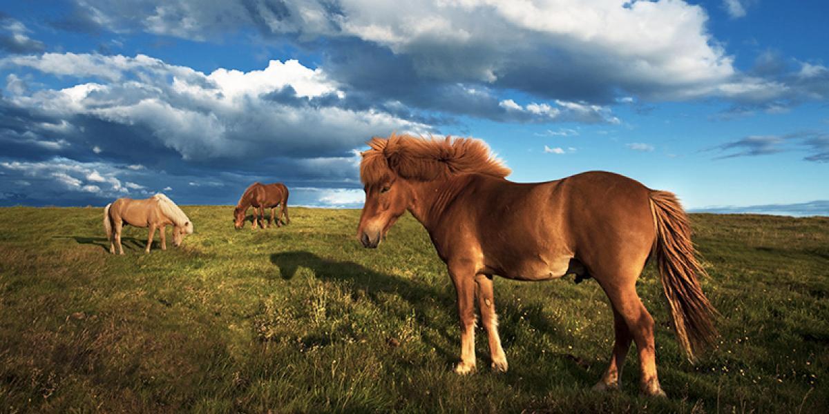 WEEKEND_Reykjavik og Den Gylne Sirkel med leiebil_Islandshest © Din Islandsreise
